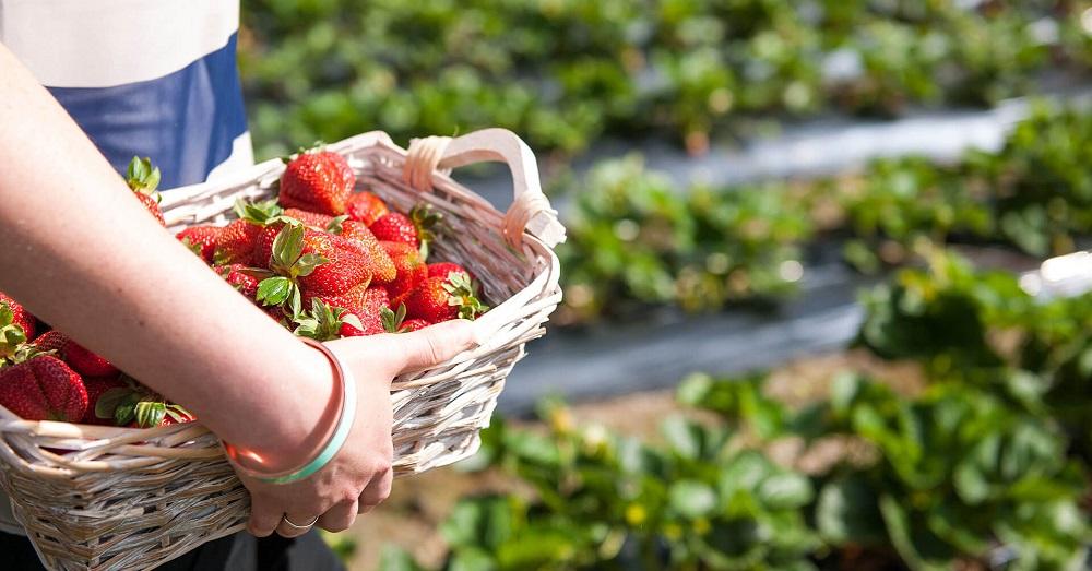 Beerenberg Strawberry Farm, Adelaide Hills