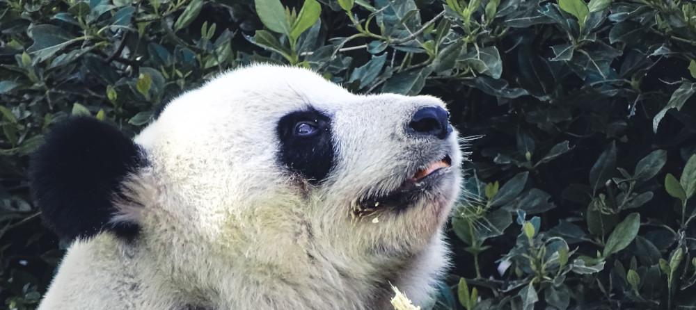 Adelaide's infamous pandas